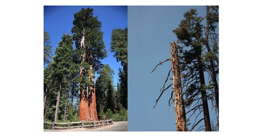 Pioruny i wysokie drzewa