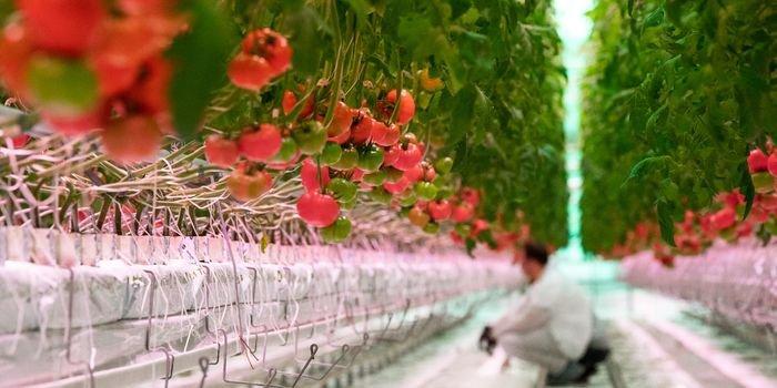 Największa moc oświetlenia LED w szklarniowej uprawie pomidora